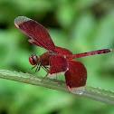 Ramburii Red Parasol