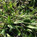 Lance-Leaf Plantain