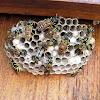 European Paper Wasp,