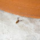 False Scorpion