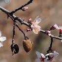 almond tree, almendro