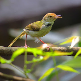 the centre of attraction by Nisha B. - Novices Only Wildlife ( common tailorbird, india, sheoraphuli,  )