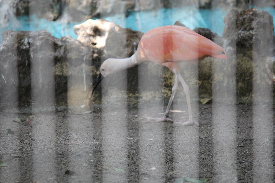 Ibis escarlate