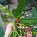 Oleander Aphid