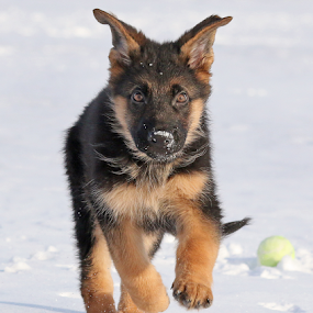 Puppy energy by Mia Ikonen - Animals - Dogs Puppies ( mia ikonen, puppy, german shepherd, winter, action, canine, playful, dog, pet, finland )