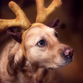 Sara - the pink nosed reindeer by Kiril Krastev - Animals - Dogs Portraits ( canon, reindeer, retriever, 70d, antlers, indoors, 50mm, f/1.4, portrait, golden,  )