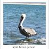 brown pelican - adult