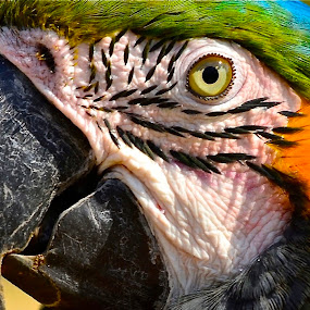 by Francisco Little - Animals Birds (  )