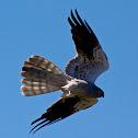 Montagu's Harrier - Tartaranhão Caçador