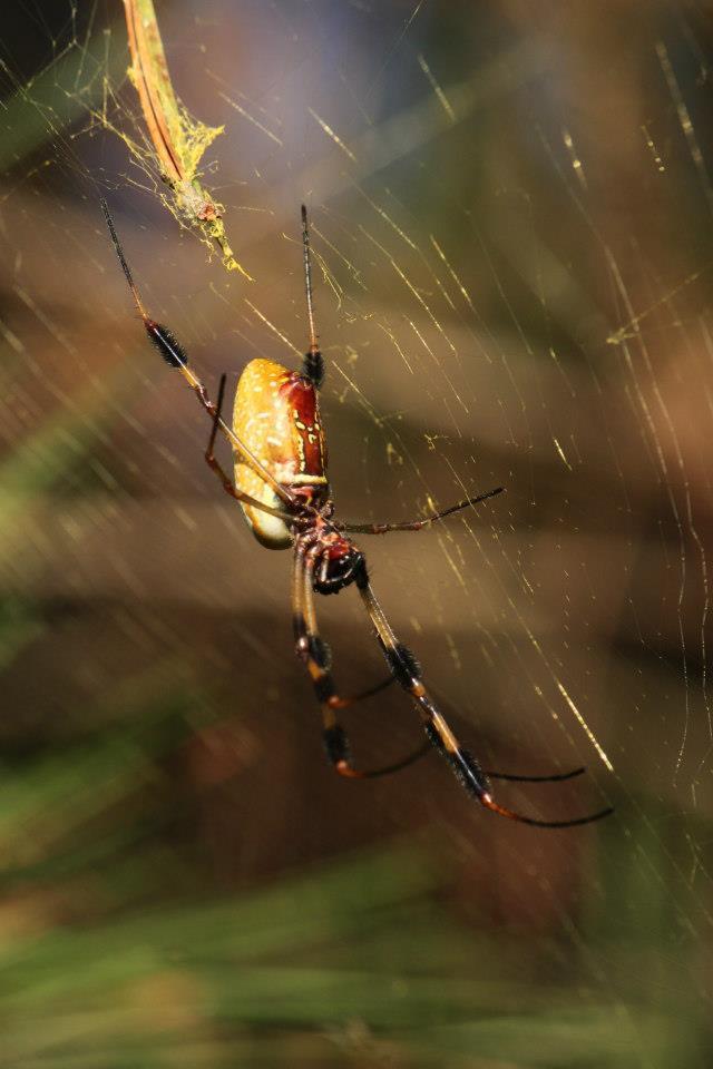 Golden Silk Orb Weaver