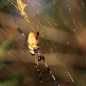Golden Silk Orb Weaver