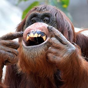 Orangutan by Milton Moreno - Animals Other Mammals ( animals, monkeys, ape, orangutans, apes, orangutan, primate, primates, monkey,  )