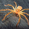 Huntsman spider??
