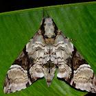 Black Belted Hawk moth