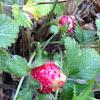 Wild (Woodland) Strawberry