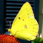 Lively Clouded Sulphur