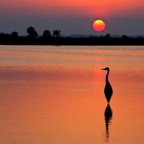 Sunset with Great Blue Heron by Richard Duerksen - Landscapes Sunsets & Sunrises ( great blue heron, silhouette, merritt island, florida, heron, , #GARYFONGDRAMATICLIGHT, #WTFBOBDAVIS )