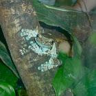 Mission Golden-eyed Treefrog