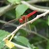 Ruddy Marsh Skimmer Male