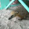 South American Coatí, ring tailed coatí
