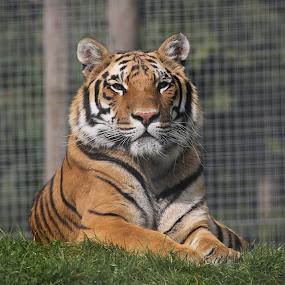 Tiger. by Mark Milham - Animals Lions, Tigers & Big Cats ( wildlife park, big cat, orange, cat, tiger )