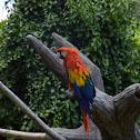Scarlet macaw - Ara scarlatta