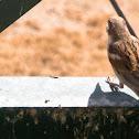 Sindh Sparrow