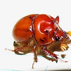 Burrowing beetle