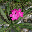 Carthusian Pink / Karthäuser-Nelke