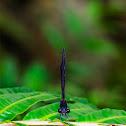 Black-banded Gossamerwing