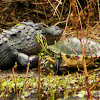 American Alligator and Peninsula Cooter Turtle