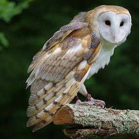 Sitting Pretty by Dyane Kirkland - Animals Birds ( bird, barn owl, owl, raptor, captive owl, rehab bird )
