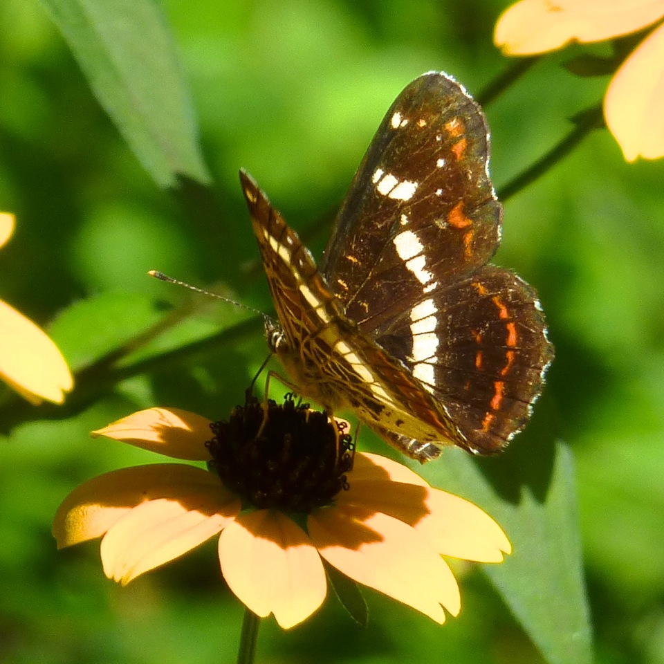 Map butterfly (second brood)