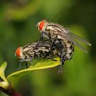 Indian Fleshfly
