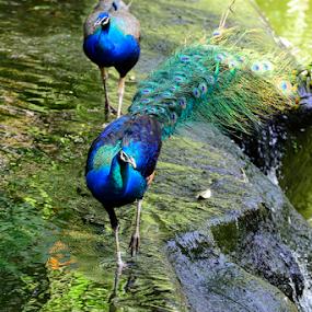 Peacocks crossing a Stream by Nur Ismail Mohammed - Animals Birds ( aviary, drinking, pond, peacock, bird park )