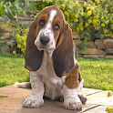 Basset Hounds Dog Wallpapers logo