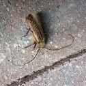 Huhu beetle - runga rere