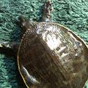 Florida softshell turtles