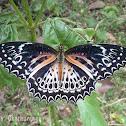 Ceylon Lace Wing