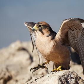 Lanner Falcon by Tom Esterhuizen - Animals Birds ( falcon, hunt, prey, raptor, kalahari )