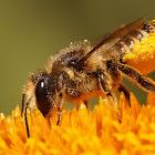 Megachilidae species