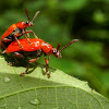 The scarlet lily beetles mating