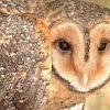 Masked Owl