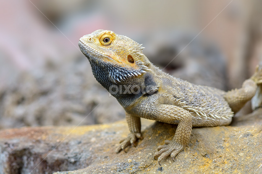 Central Bearded Dragon by Roberto Melotti - Animals Reptiles ( roberto melotti, central bearded dragon, agamid lizard, pogona vitticeps, inland bearded dragon, drago barbuto dalla testa striata, nikon d7100,  )