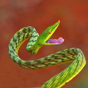 Green Vine Snake by Nitin Puranik - Animals Reptiles