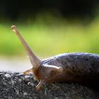 Keelback Slug