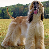 Dog Puzzle: Afghan Hound
