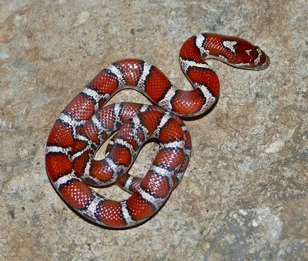 Milk snake (Juvenile Eastern x Red intergrade) | Project Noah