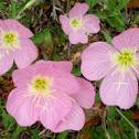 Missouri primrose