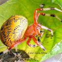 Marbled Orb Weaver Spider